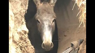 Trapped donkey rescued from hole