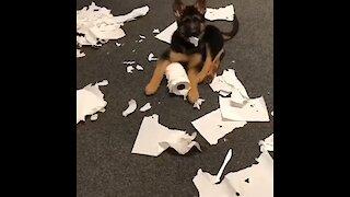 German Shepherd puppy makes huge mess