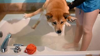 Dirty Doggo Hates Dreaded Bath Time