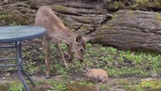 Wild deer really wants to befriend little bunny rabbit
