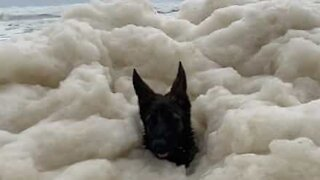 Dog submerged by wave of sea foam