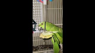 Hungry Amazon Parrot plays with his food