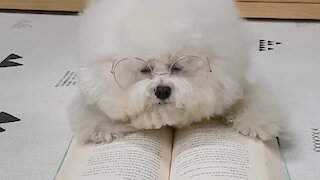 Bookworm puppy falls asleep during reading session