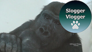 Shufai The Gorilla Can't Stop Spinning