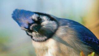 Blue Jay Bird Cam