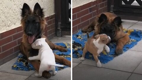 Doggy takes on big brother responsibilities with new puppies
