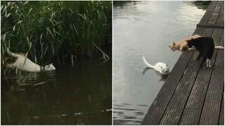 Katt svømmer over elv for å leke med venner!