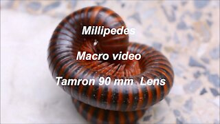 Millipedes Macro Video with Tamron 90mm Macro lens
