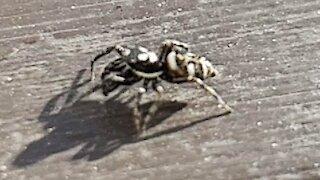 Zebra Spider Crawl slow motion video
