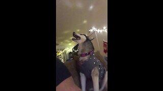 Talkative husky shows off vocal skills