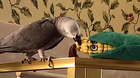 Talking parrot tosses toy corn over the edge, instantly apologizes