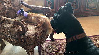 Great Dane Shows How Fascinated He Is By Cat's Fancy Hat