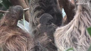 Raw video: Baby sloth born at Denver Zoo