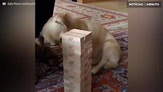 Cão adotado mostra talento inusitado em jogo de equilíbrio