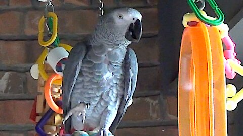 Talking parrot decides to make a disgusting noise