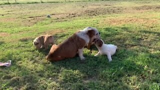 English Bulldog mom enjoys sweet playtime with her puppies