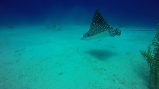 Massive Eagle Ray approaches divers from dark ocean depths