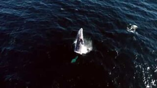 Fantastic drone footage of gray whales in California