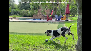 Great Dane Shows Off His Fancy Footwork With His Squeaky Soccer Ball