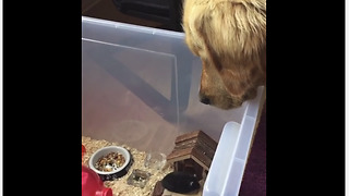 Golden Retriever intently watches over his little mouse friend