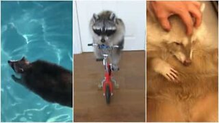 This raccoon video will melt your heart