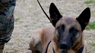 Military Working Dog retires and is reunited with former handler