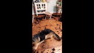 German Shepherd destroys plant, makes gigantic mess