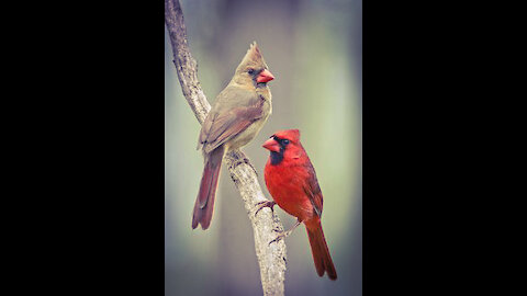 THOUGHT THIS WAS A MALE CARDINAL FEEDING HIS MATE, BUT HE IS FEEDING A BABY!!!