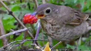 Spectacular footage of mother bird feeding her babies