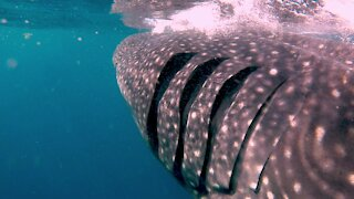 Photographers get in the water with gigantic whale sharks