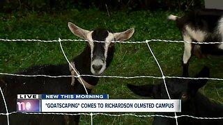 Meet the goats of the Elmwood Village