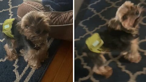 Yorkie puppy can't stop smiling in excitement