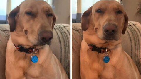 Dog always hides his guilt behind a smirk