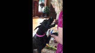 Happy Great Danes excited for tasty cookie treats