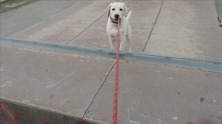 Puppy Labrador play on playground