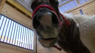 The SPCA Serving Erie County has a Mini Horse that needs a home
