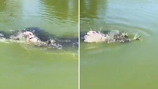 Swimming puppy freaks out after unseen branch touches him