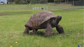 The oldest living Giant Tortoise