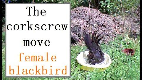 Female blackbird demonstrated the corkscrew move