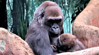 Gorilla baby and mother share tender moments together