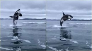 Killer whale breaches close to boat