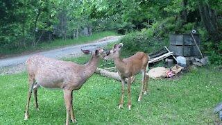 Super friendly mother & baby deer visit human friend