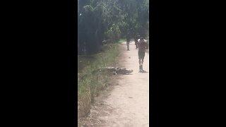 Oblivious Jogger Literally Runs Into Alligator On Path