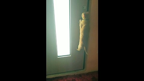 Clever kitty learns how to open doors