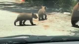 Mama Bear And Cubs Stroll Through Residential Neighborhood