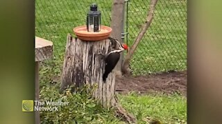 Curious woodpecker checks out a tree stump in a backyard