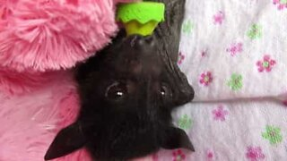 Baby flaggermus reddet i Australia