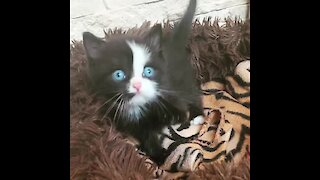 Super Cute Kitten Has The Brightest Blue Eyes