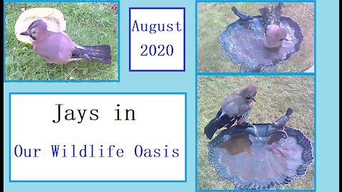 Beautiful jays in Our Wildlife Oasis - August 2020