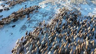 Incredible aerials capture nomads herding hundreds of sheep back to spring pastures in annual migration